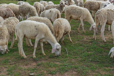 Herd of sheeps on eating grass on the field