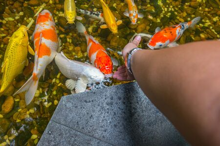 Young man feeding Japanese Koi fish in the pond