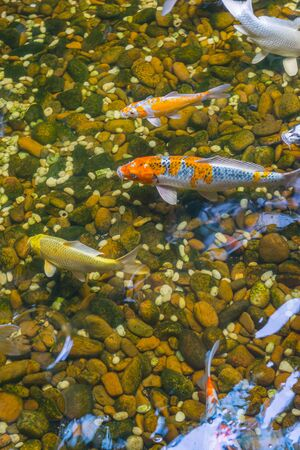 Vertical photo of Japanese Koi fish swimming in the pond