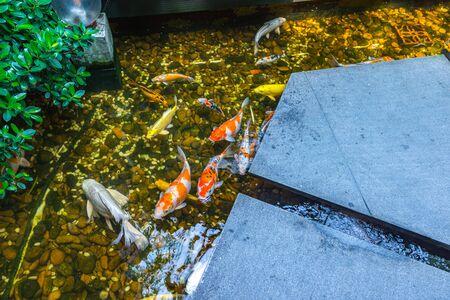 Colorful Koi carps or Koi fish swim in the pond 写真素材