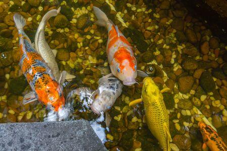 Close up of colorful Japanese Koi fish swimming