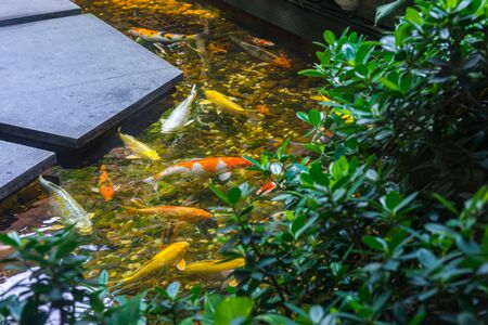 Colorful Japanese Koi fish swimming on the surface of artificial pond 写真素材