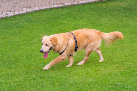 Adorable golden retriever dog walking in the park