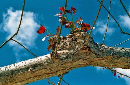joie: Immature Sprossen von einem alten Baum sind uprushing in den Himmel, zu neuem Leben, Lebensfreude Lizenzfreie Bilder