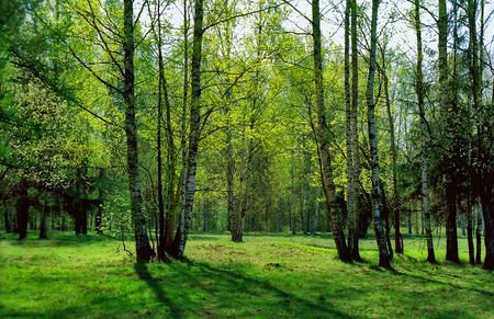 Birches in back projection in Spring