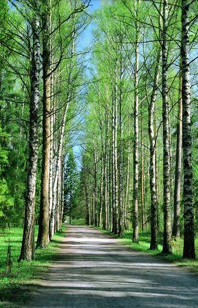 Birch all�e au printemps jours