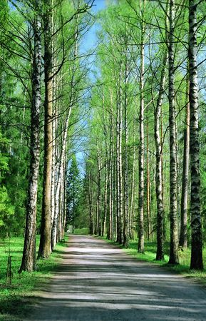 Birch alley in Spring day