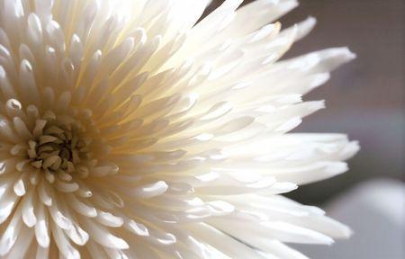 Fleur de chrysanth�me blanc dans de macro