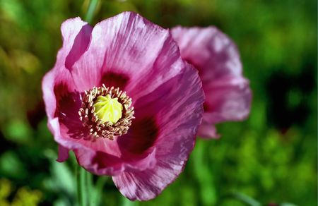 Poppy under the Sun close-up Stock Photo