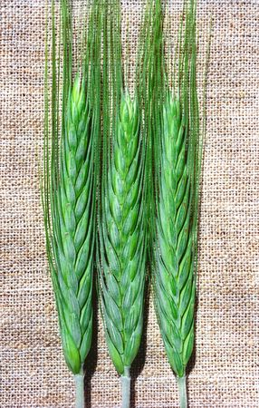 Trois spicas vert de seigle sur toile