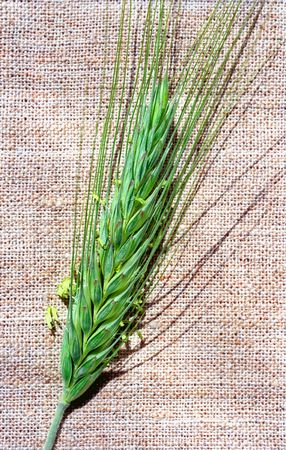 gramineous: Flowering spica of rye on canvas
