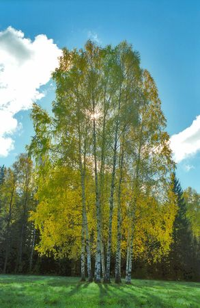 Autumn birches in back projection
