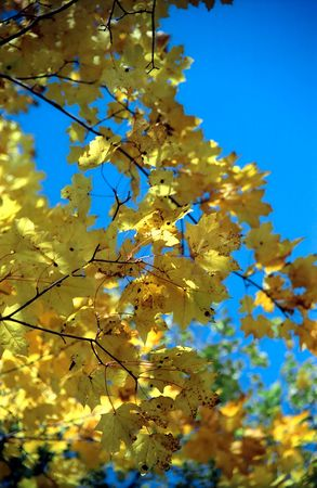Autumn maple leaves aganst blue sky