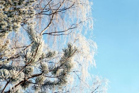 Hoarfrosted branches of pine tree and birch against soft blue sky Stock Photo