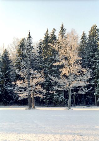 very cold: Hoarfrosted oak trees in very cold winter day