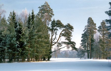 Pine trees in cold sunny winter day