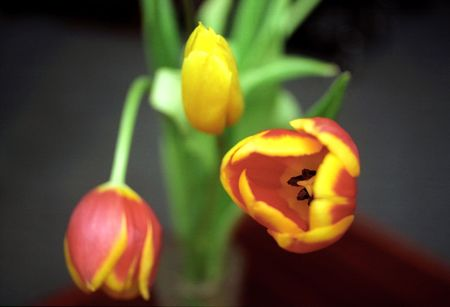beautiful red tulips close up: Tulips close up on dark background Stock Photo