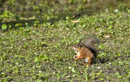 sweetly: Sweetly pretty squirrel with bushy tail