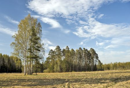 hardwoods: Birches and fir trees near the forest Stock Photo
