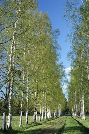 hardwoods: Spring birches alley in the park Stock Photo