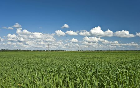 livestock sector: Field of green crop and blue sky with white clouds