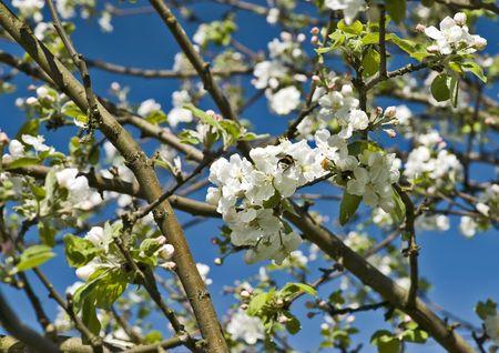 Blossoming pommier avec une abeille sur la fleur Banque d'images