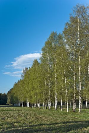 hardwoods: Spring birches in the park