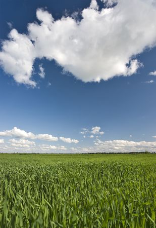 livestock sector: Field of green crop and blue sky with white clouds vertical