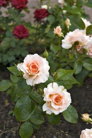 Roses roses apr�s la pluie avec de l'eau � Rosebud