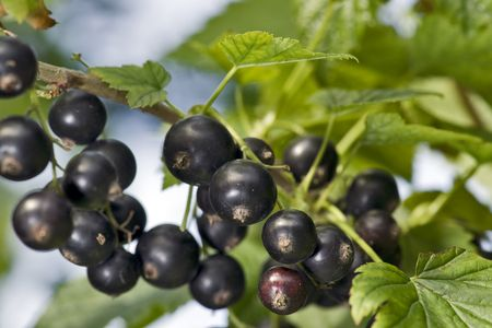 Black currant in nature close up