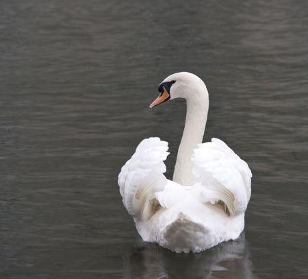 White swan close up photo