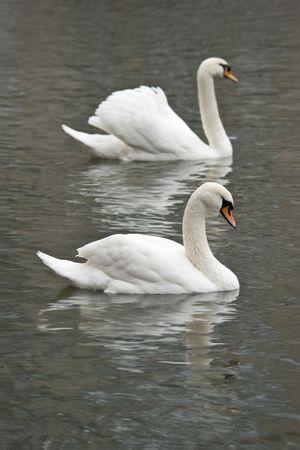 White swans swimming photo
