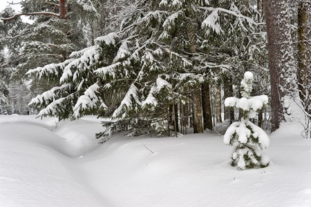 snowbank: A small pine-tree with snow in winter forest