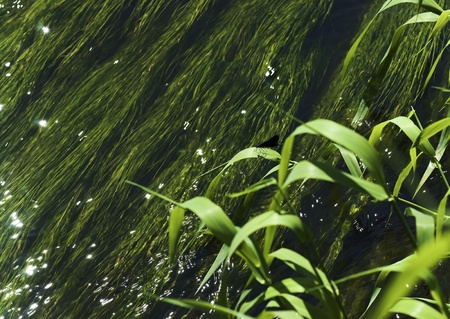 waterweed: Water plant background with green grass in front