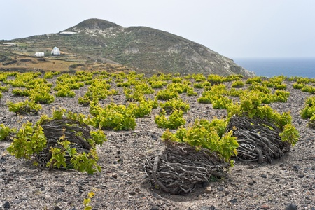 Santorini vineyard on lava soil next to the sea