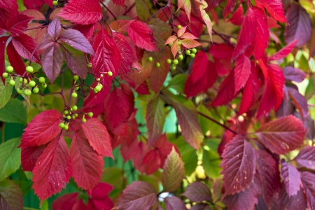 clambering: Virginia creeper in autumn red color