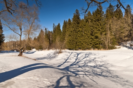 Winter forest with willow, fir-trees and shades on snow photo