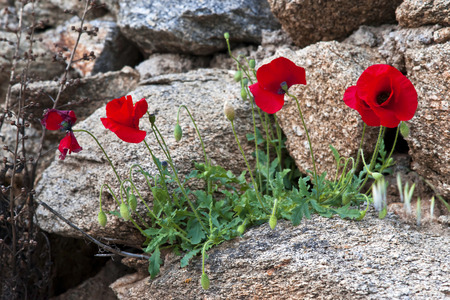 Red poppies among stones in spring time