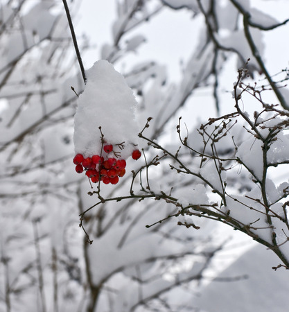 ash: Snow on the bunch of red wild ash berries