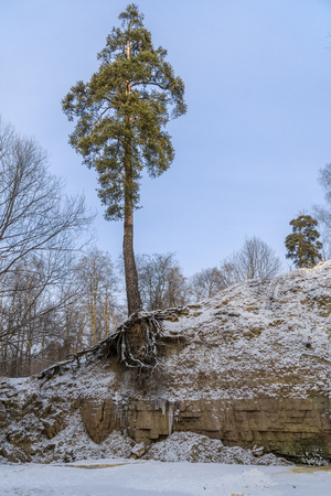 Pine tree with undraped roots over frozen river