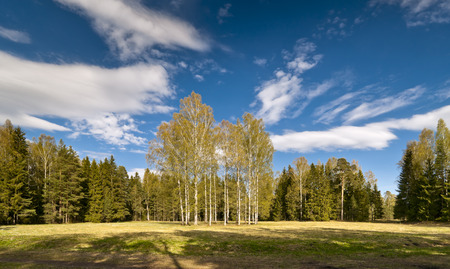 awakening: Early Spring in the park with birches, yellow last years grass and awakening trees