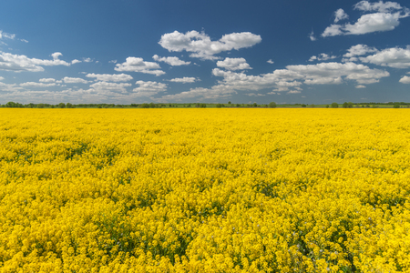 Flowering yellow rape field and clouds in blue sky
