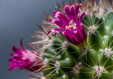 cactus botany: Lilac flowers and pricks of cactus close up