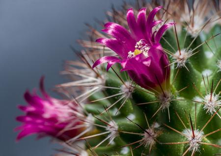 Lilac flowers and pricks of cactus close up
