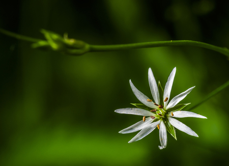 Chlorophytum white flower with yellow stamens and green background behind