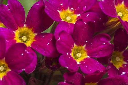 Primula close up with drops of water in the centre and on petals Stock Photo