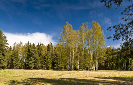 Early Spring in the park with birches, yellow last years grass and awakening trees