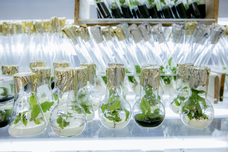 vitro: Microplants poplar grown in flasks with nutrient medium using micropropagation technology in vitro