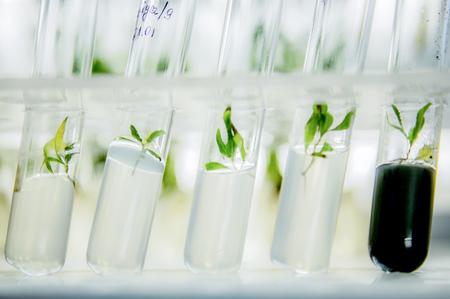 in vitro: Microplantas de álamo clonado in vitro en un medio nutritivo