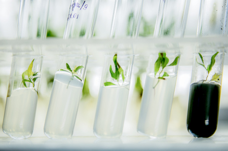 microplants of cloned poplar in vitro in a nutrient medium Stock Photo